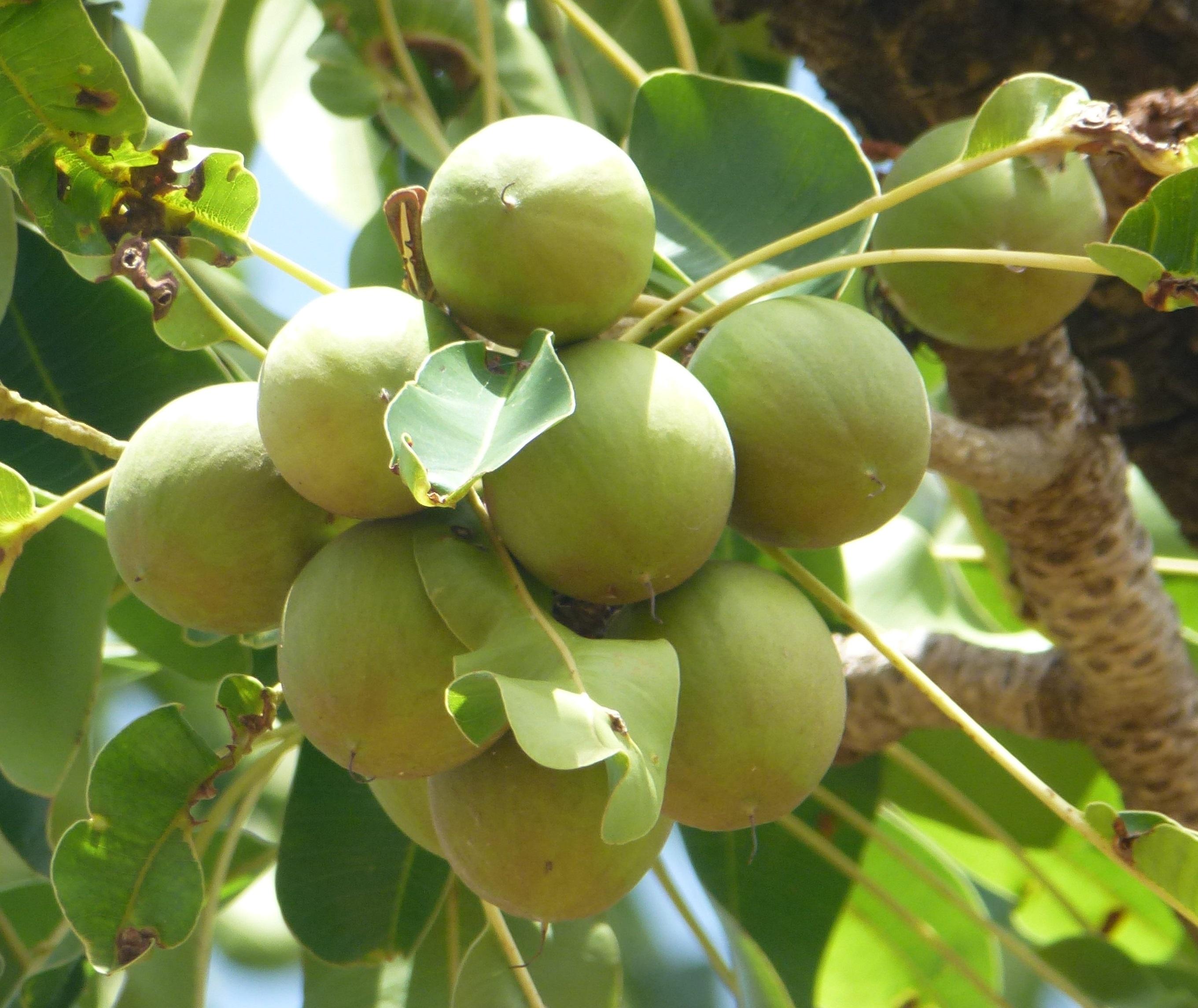 fruits-de-karité (1)