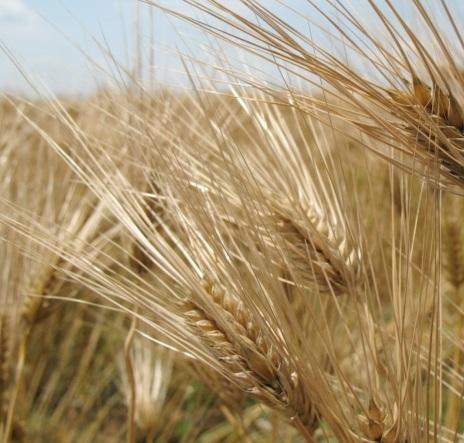 grano-frumento-cereali-by-xpistwv-morguefile-1000x750 (1)