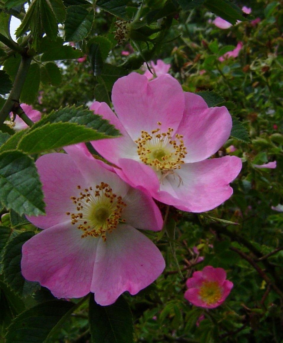 rosa-mosqueta-flor